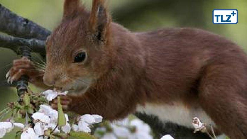 eichhörnchen zum beliebtesten gartentier gewählt  leben