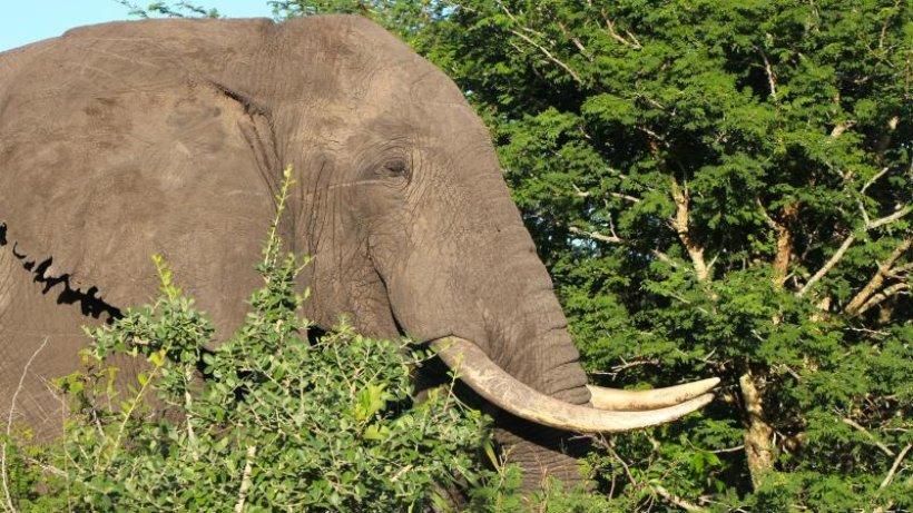 Zu Besuch bei den Elefanten im Naturschutzgebiet Lubombo